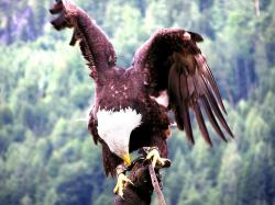 aquila, raptor, bird of prey, feathers