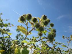 arctium lappa, sky, clouds, plant, plants, flower