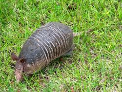 armadillo, florida, animal, nature