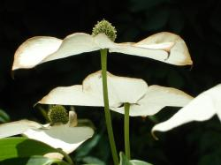 asian dogwood blossoms, dogwood blossoms, dogwood