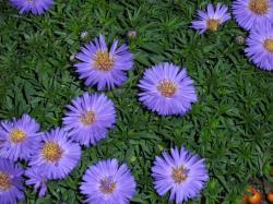 aster, autumn, asters, plant, flora, flower, purple