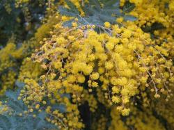 australia, wattle, native, plant, yellow, golden