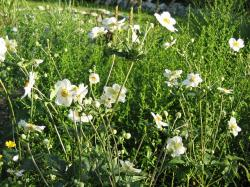 autumn anemones, flowers, nature, plant, landscape