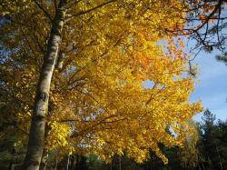 autumn, color, yellow, sky, tree, asp, tribe, forest