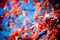 autumn, maple, red, leaves, bokeh