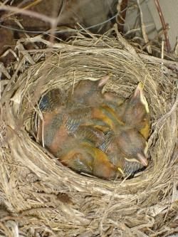 baby, robins, birds, nest