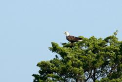 bald eagle, raptor, bird of prey, feathers, perch