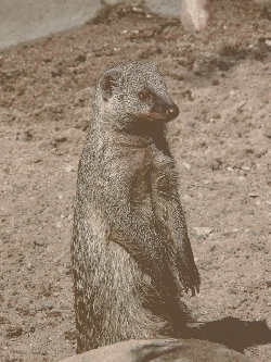 banded mongoose, mongoose, mammal, animal, creature