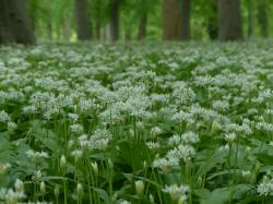 bear's garlic, flowers, white, forest, plant