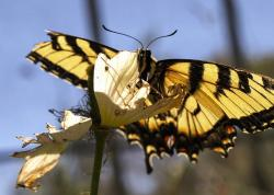 beautiful, yellow, black, butterfly, nature, insect