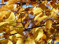 beech, beech leaves, autumn, leaves, colorful, color