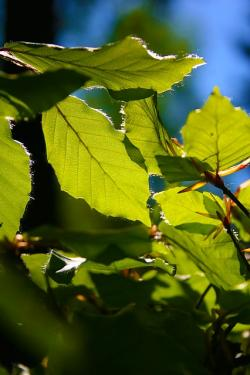 beech leaves, may, spring