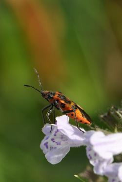 beetle, insect, flower, red, green