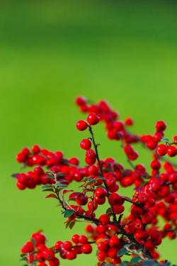 berries, berry, bunch, green, background, garden, plant