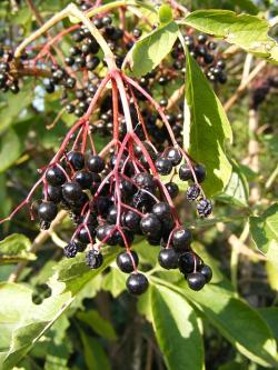 berries, black, common, elder, elderberry, green, sunny