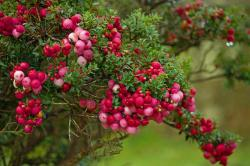 berry, berries, pink, red, ripening, turning, nature