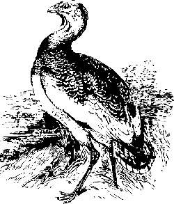 big, bird, stand, great, animal, bustard, standing