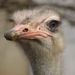 bird, animal, ostrich, creature, large, cute, ostriches