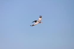 bird, animal, pelican, island, florida