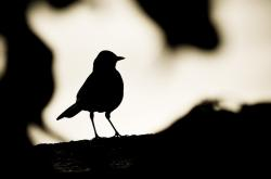 bird, animal, silhouette