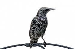 bird, birds, aviator, animals, feather starling