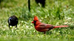 bird, cardinal, red, feathered, wild life, nature