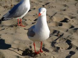bird, creature, birds, sea, sea birds, sea gull, gull