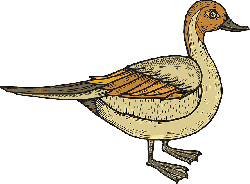 bird, duck, wings, standing, feathered, feathers