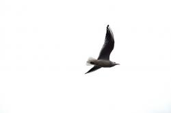 bird, flight, background, white, feathers, gull