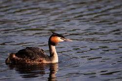 bird, grebe great crested with chick, feathers