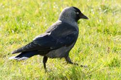 bird, jackdaw, corvus, monedula, animals, black