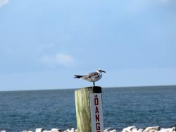 bird, ocean, seagull, water
