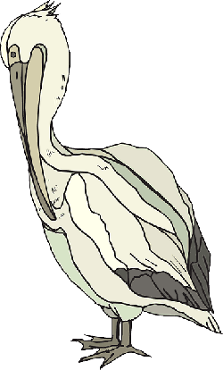 bird, pelican, colorful, animal, beak, with, feathers