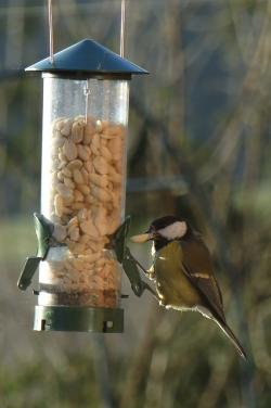 bird, pets, animal, birds, food, eat, tit, feed