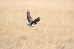 bird, predator, fly, flying, take off, africa