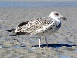 bird, seagull, sand beach, gull