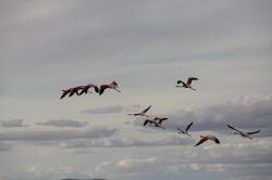 birds, flamingo, fly, feathers