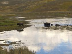 bison, herd, wandering, water