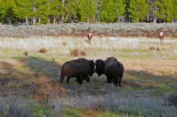 bisons, yellowstone national park, wyoming, usa
