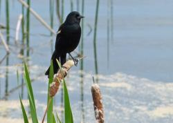 black, bird, wetland, marsh, williams lake