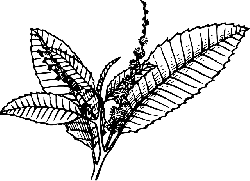 black, outline, white, plant, leaves, chestnut, picture