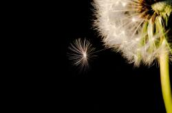 black, seed, dandelion, closeup, white, macro, wind