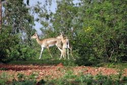 blackbuck, animal, antelope, ranebennur, karnataka