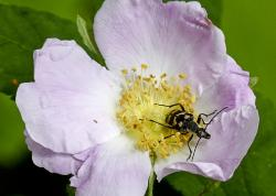 blossom, wild rose, nature, close-up, macro, bug