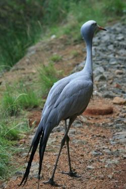 blue crane, crane, blue, tall, neck, tail, long