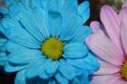 blue, daisy, macro, flower, colorful
