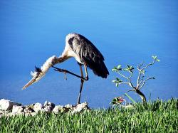 blue heron, awkward, one-foot, water, water birds