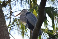 blue heron, heron, bird, animal