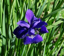 blue, iris, flower, nature, sunny day, beauty