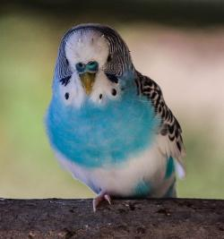 blue parakeet, bird, parrot, pet